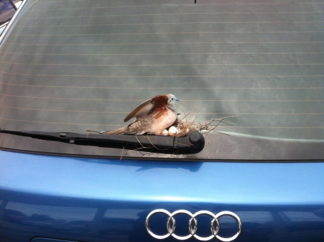 Bird nests on back of Audi