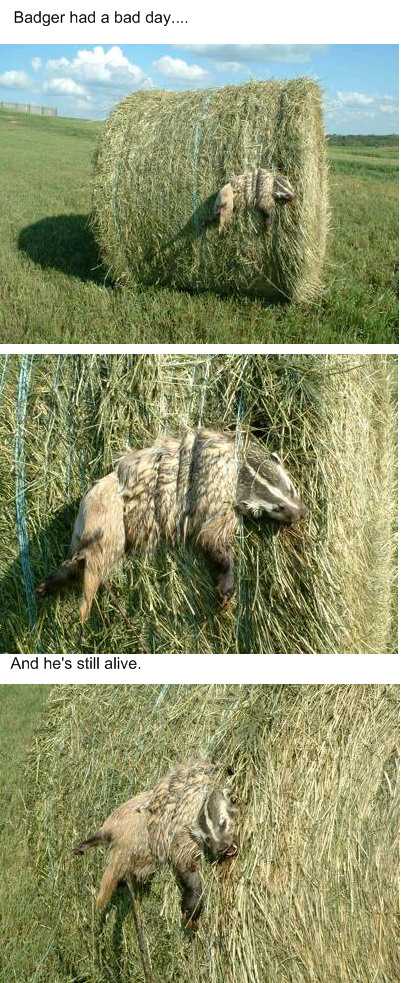 A badger caught in a hay roll