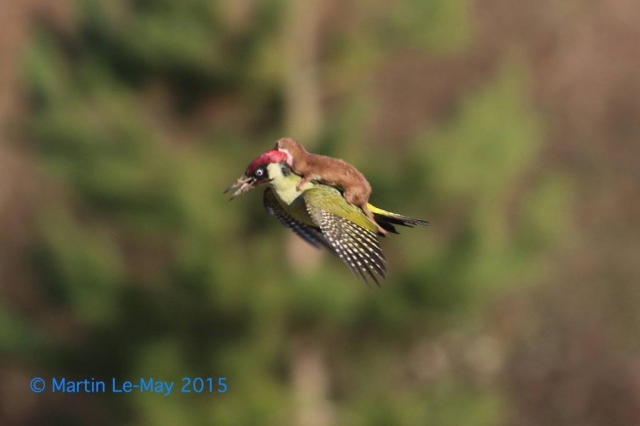 Weasel hitches ride on woodpecker's back