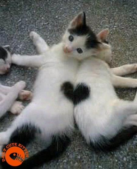 Two kittens make a heart