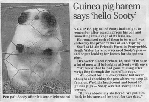 Guinea pig harem says Hello Sooty