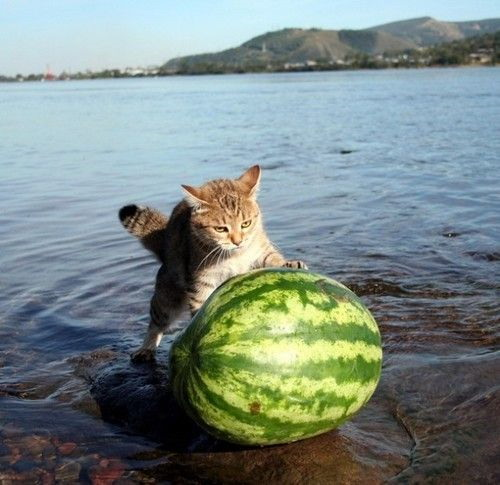 cats_and_watermelons_024