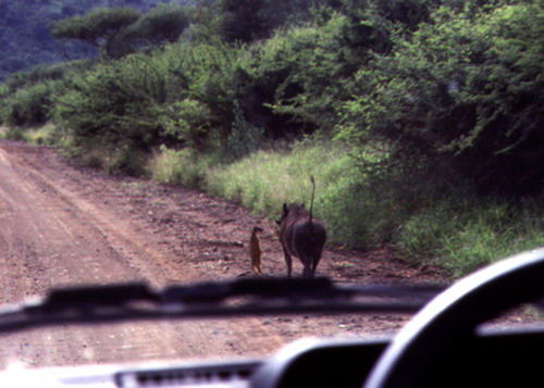 real_life_timon_and_pumba.jpg