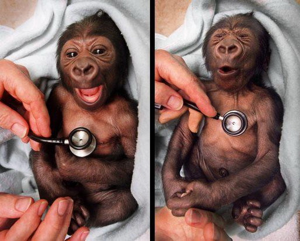 Baby chimp Yakini