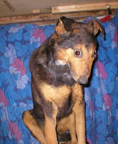 Taxidermy dog