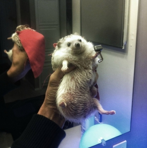 Thor hedgehog